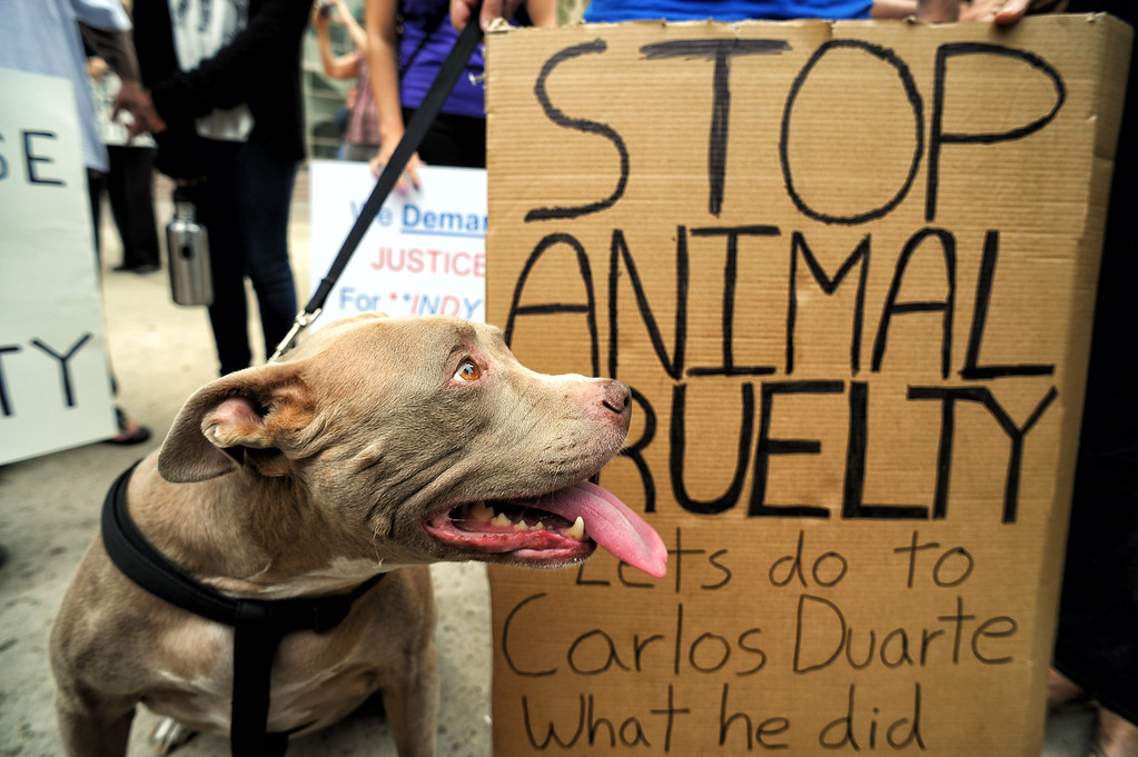 . Kiki the dog with supporters of Indy the pit bull gathered at Van Nuys court Tuesday, June 10, 2014. Suspect Carlos Duarte was in court for allegedly abandoning the badly burned dog in Winnetka alley on July 4th.  (Photo by Hans Gutknecht/Los Angeles Daily News)