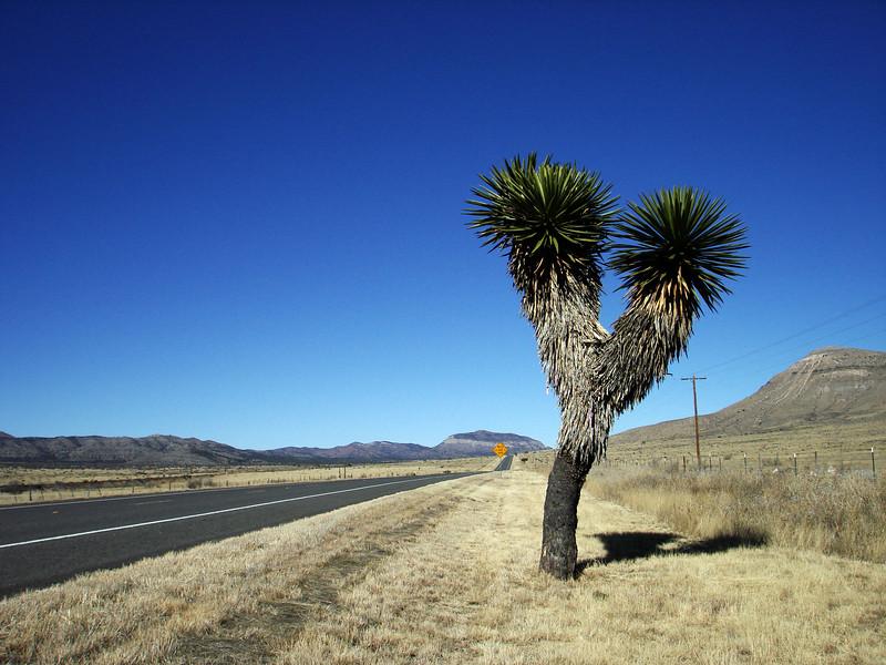 Bifurcated Yucca