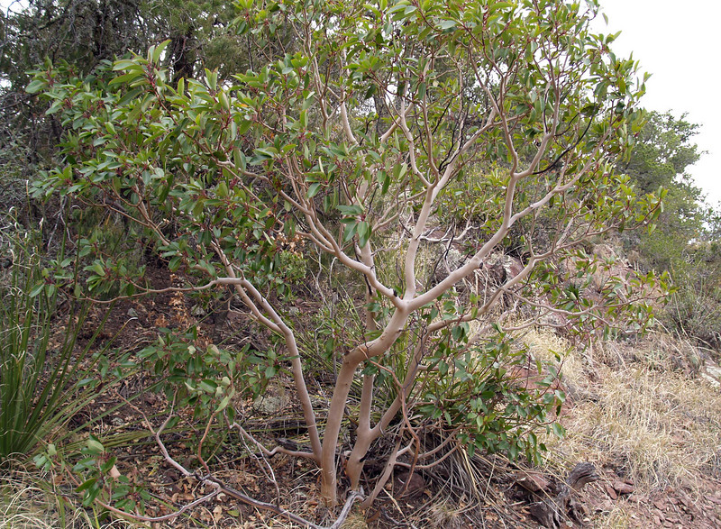 Madrone