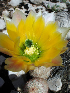 ECHINOCEREUS BLOOM CLOSEUP