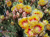 MORE PRICKLY PEAR BLOOMS<br /> I just can't pass these things up, as you can see.