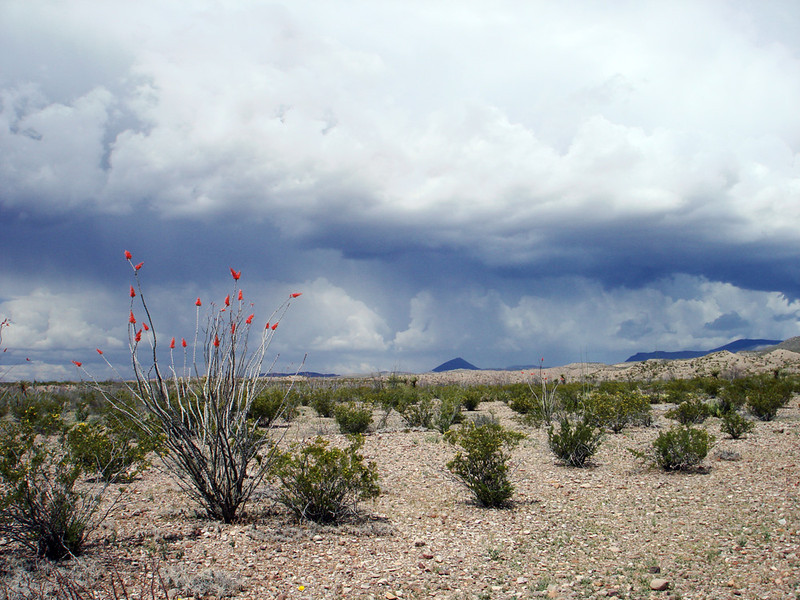 YEP, SURE ENOUGH<br /> Oh, that's just lovely, isn't it? So much potential for disaster. Check out the blooms on the ocotillo, though. They really stand out against the clouds.