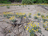 DESERT MARIGOLDS<br /> There was just so many of them, I had to take a shot.