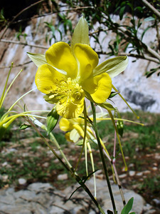 LONGSPUR COLUMBINE These are such beautiful, graceful things.