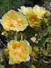 PRICKLY PEAR BLOOMS<br /> Well, since we're here, why not?