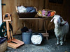 "STORE FRONT SHOT This is the ""store front"" shot we did for Lisa's website where she sells wool ""rovings."" Abby, her pet goat,  was the perfect model as long as she was on a leash, but as soon as she was off, she was . . . well, off. Models! For anyone interested in checking out her website, it's: <a href=""http://www.localharvest.org/farms/M16804"">Local Harvest - Rancho Descansamos</a>"