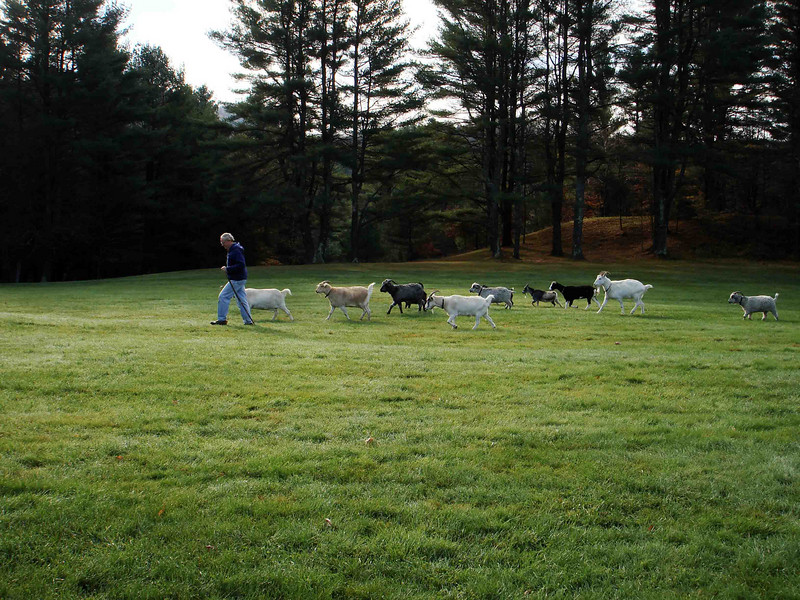 MORNING HERDING<br /> Every morning, the goats get herded from their pen to a temporary pen set up in a field of tall grass -- for their benefit and the ranch hands. John takes the lead this morning.