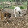mocha & Spot (bulldog)