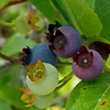 Blueberries, Squam Lake, NH