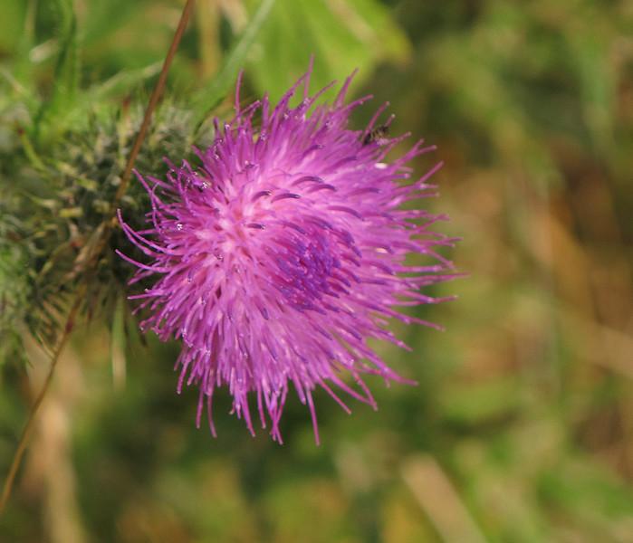 Thistle flower.