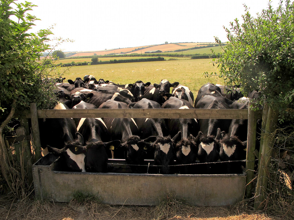 I don't fancy the chances of the ones at the back getting any water for a bit.   The only pipe filling the trough is the  half inch pipe to the left and 7 Heifers can drink faster than it can fill!