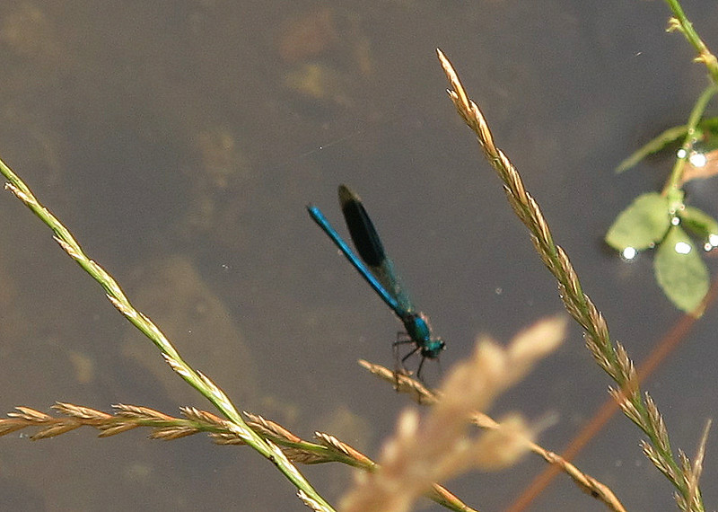 A busy Dragon Fly takes a moment to sit on a grass stalk.
