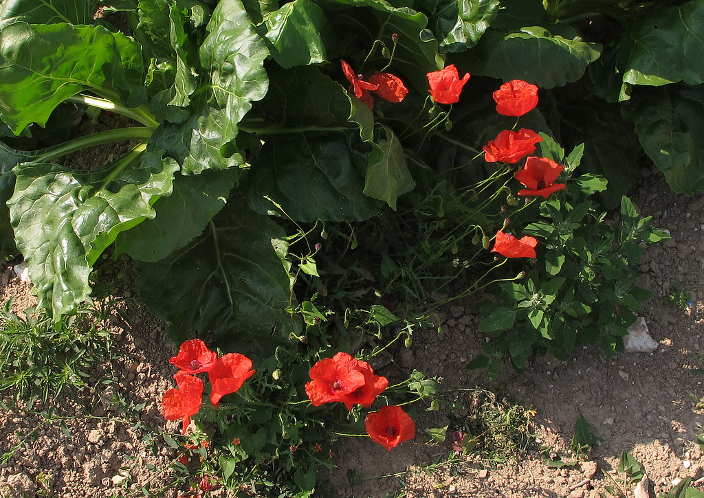 Poppies and what looks like Spinach on the path through fields at Bere Down.