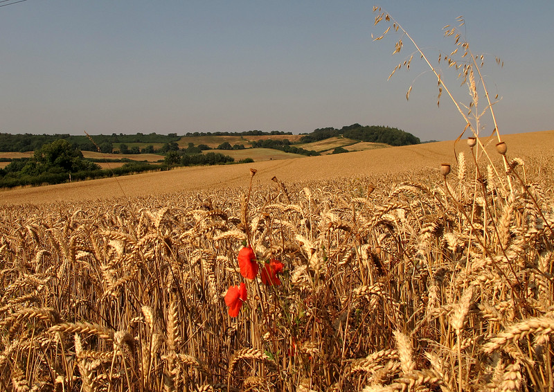 A ripe field of wheat with poppies .   Looking West from the path at the start of Barrow Hill.