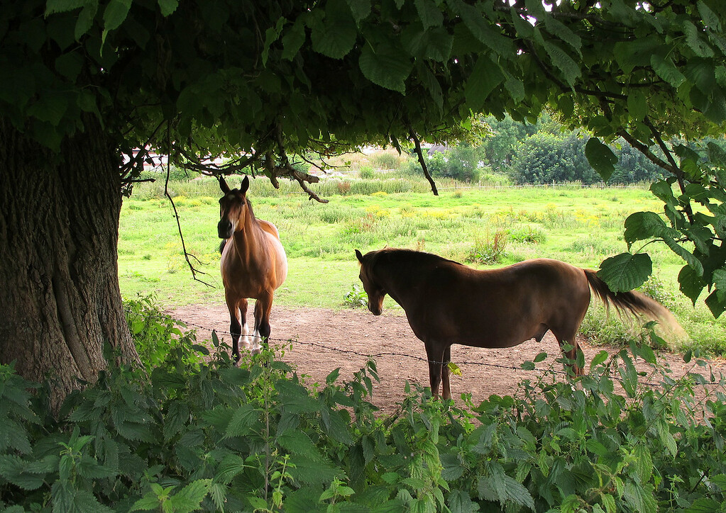 Two horses taking the shade at Milborne St Andrew.