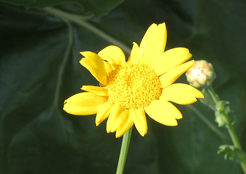 Yellow wild flower, the Corn Marigold.
