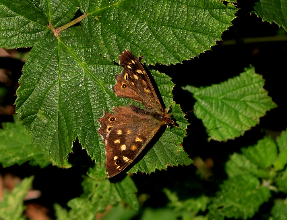 A cooperative butterfly on a Hazel tree.