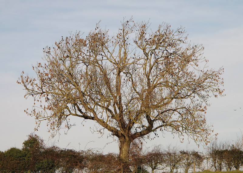 Dozens of Starlings roost on a tree at Hemsworth near the airfield.