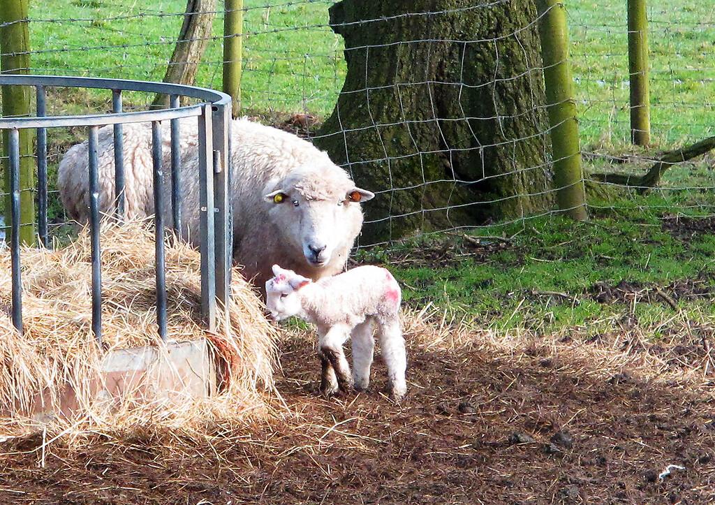 Proud mum showing off her lamb.