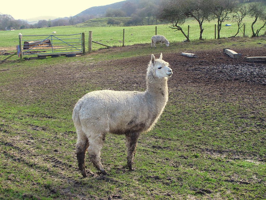 A rare long necked Dorset Shorthorn sheep.