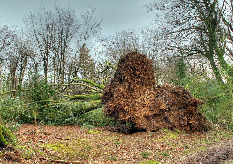 The recent storms (probably the most recent and most damaging here was on St Valentine's Day) have left many trees down in Milton Park Wood.   Here it is a large mature Beech tree with a huge root ball which must be over 4 metres high and about 6 metres wide.   if you look closely my sticks are standing upright near the right hand side for scale - they are about a metre and a half  high.