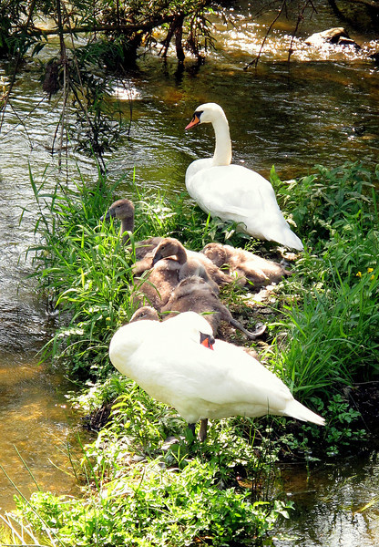 A prolific brood of signets with their parents in the Iwerne river..