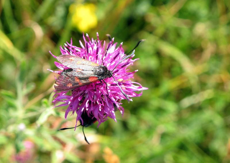 Burnet Five Spot Moths feeding on a common Knapweed on Hod Hill.