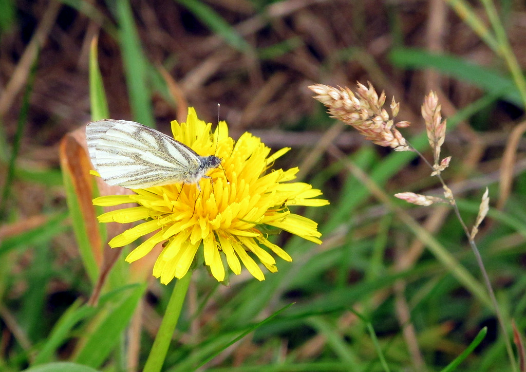 A Dandelion with a Small White butterfly hanging on during a gust of wind.