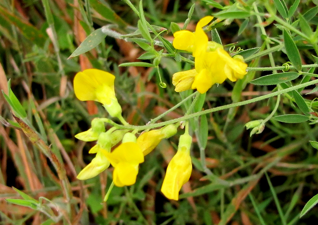 Yellow Vetch