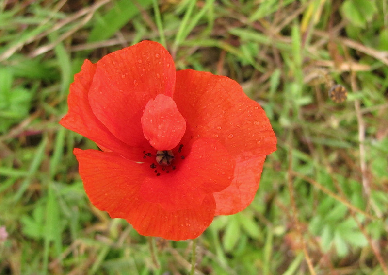 The Common Poppy