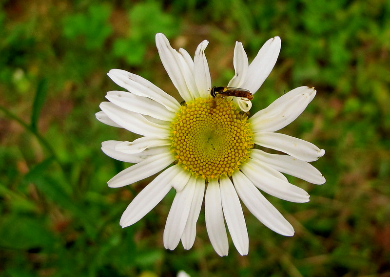 A Scentless Mayweed.