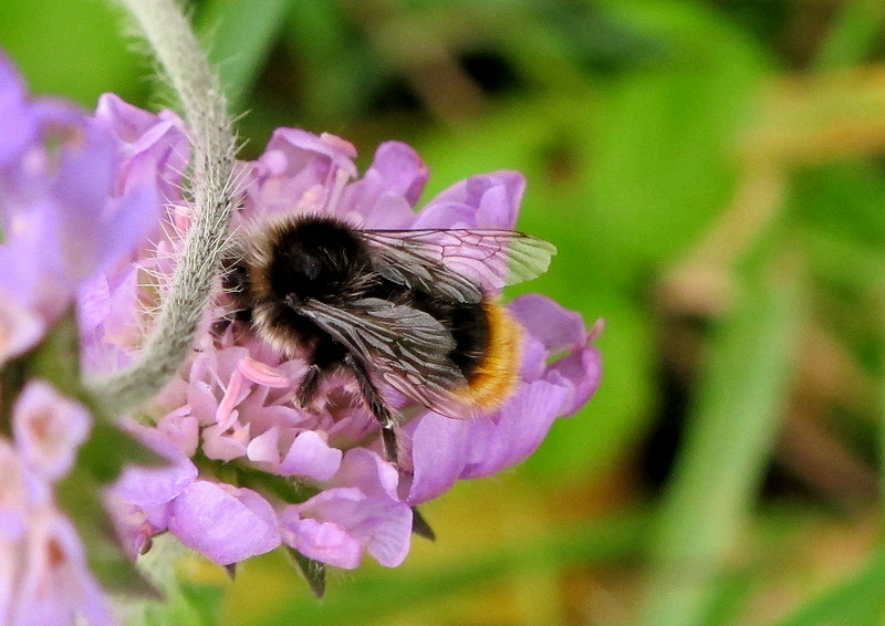 A Bumblebee tucking in to a Field Scabious flower.