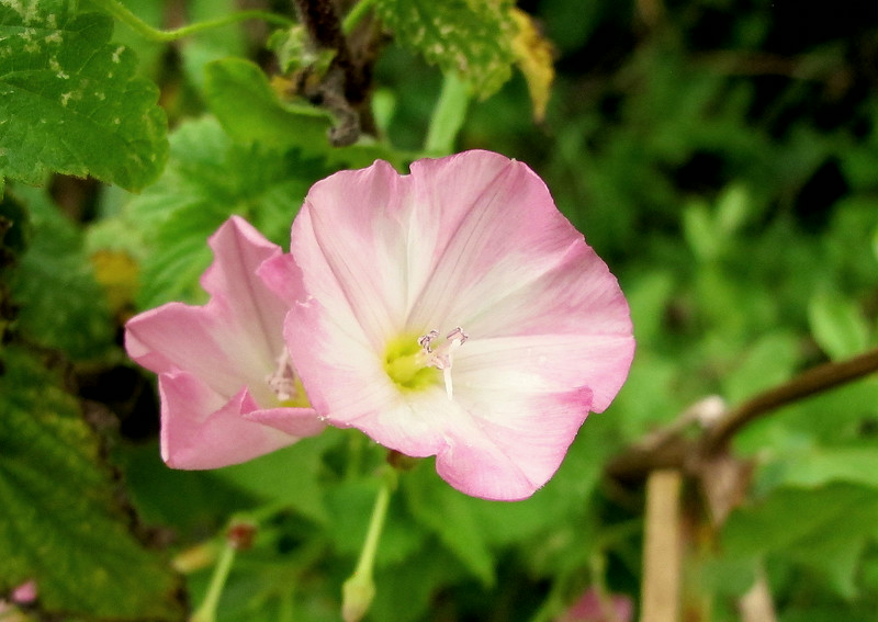 Common Bindweed