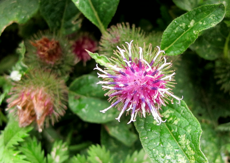 This is a Lesser Burdock.