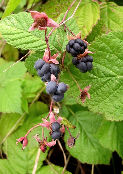 The Dewberry fruit.