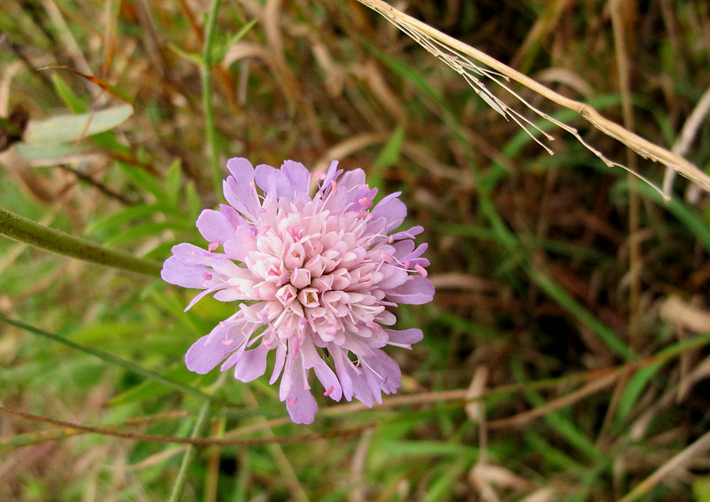 A Field Scabious