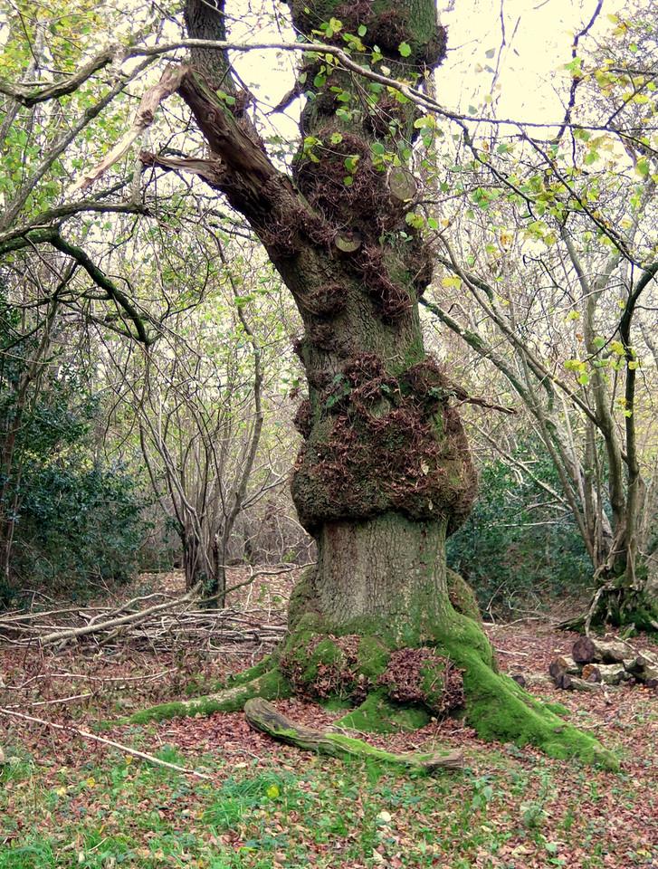 Interesting abnormalities on this Oak tree.