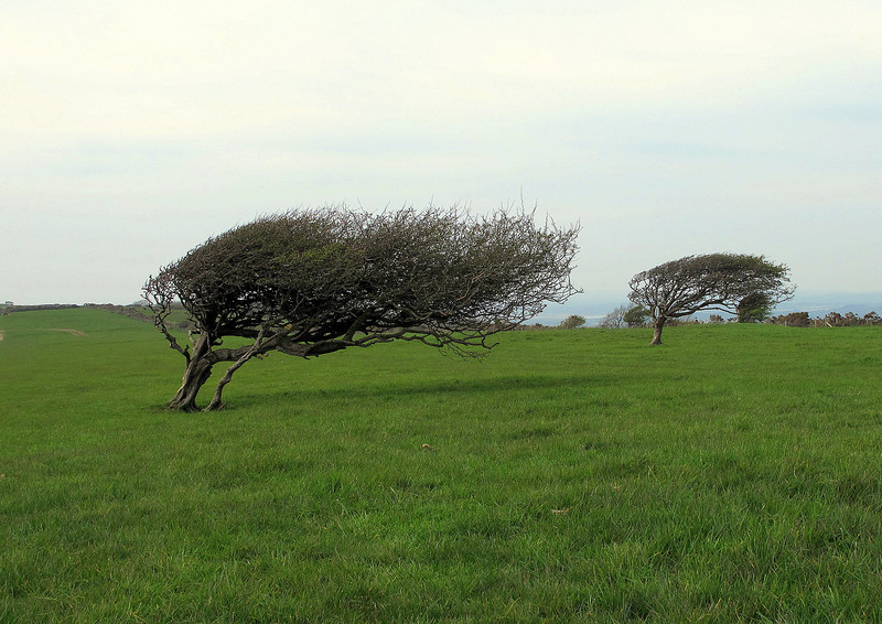 The prevailing wind has its startling effect on these trees on the Purbeck Ridge.