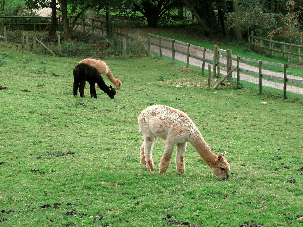 These Alpacas have been guarding my car which is in the carpark just over the road.