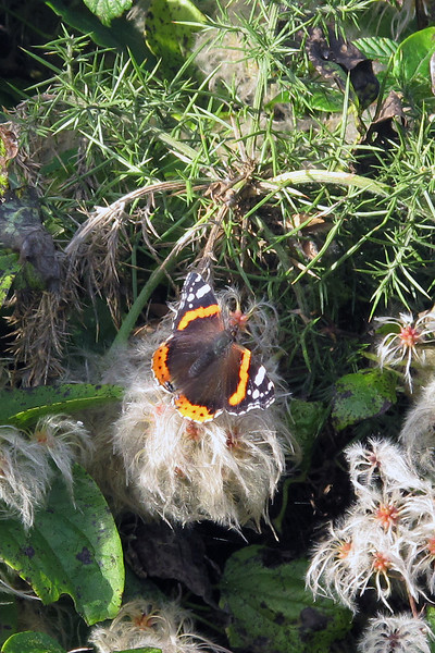 A Red Admiral butterfly on an Old Man's Beard flower.