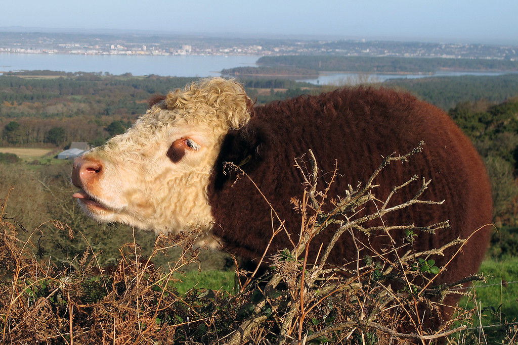 This Hereford bullock, by now fairly mature, was scratching his chin on a piece of bracken and obviously enjoying it - you wouldn't think it would be strong enough to go through the fur.   I felt like scratching his chin for him (but I didn't!)
