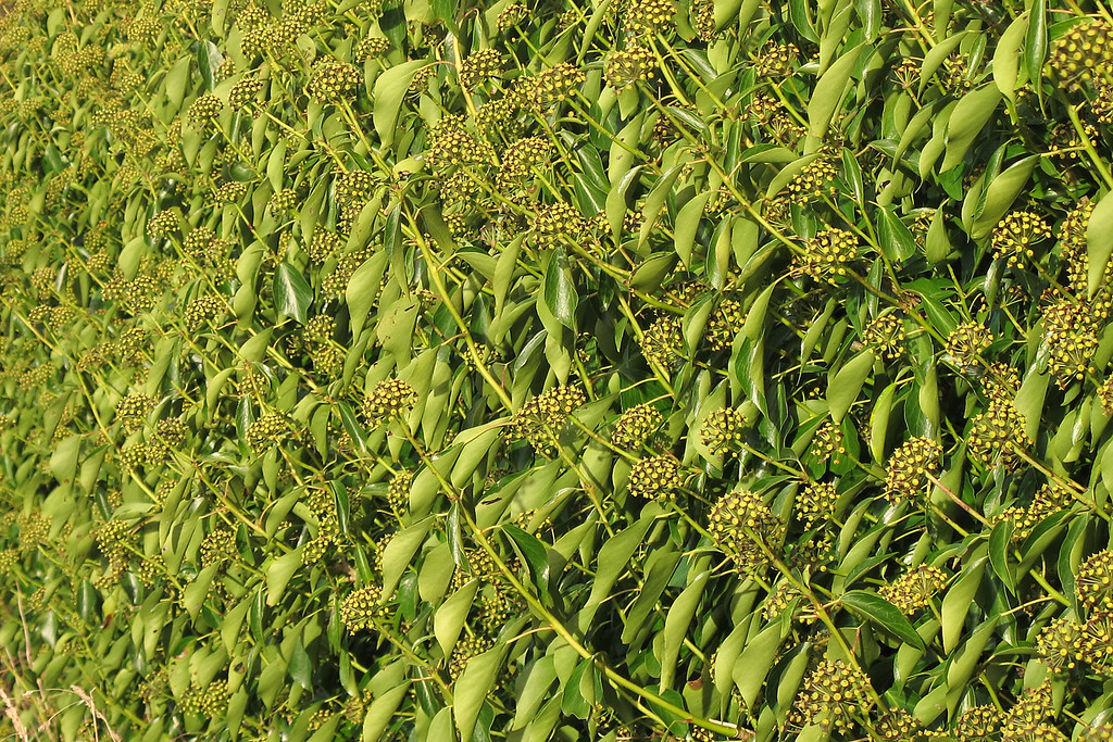 Ivy flowers in profusion.