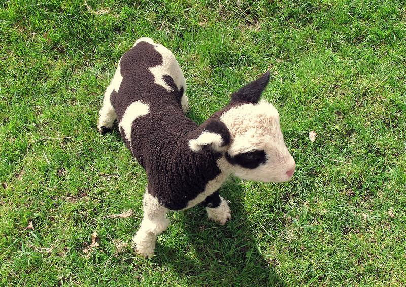 A cute little lamb at Venn Farm.