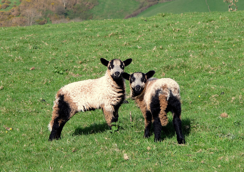 A pair of Cameroon cross lambs on the approach to Thorncombe Beacon.