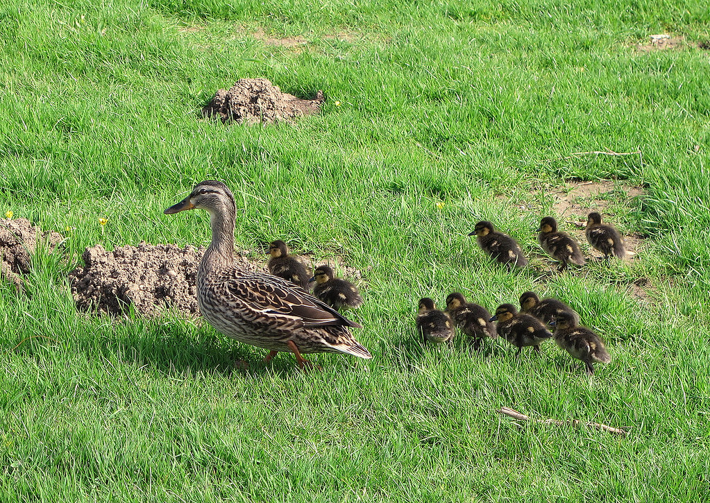 Down to Seatown at sea level and a female Mallard and her prolific brood.