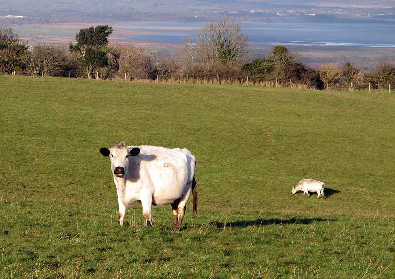 There are several rare breed herds grazing on the ridge pastures - here they are British Whites