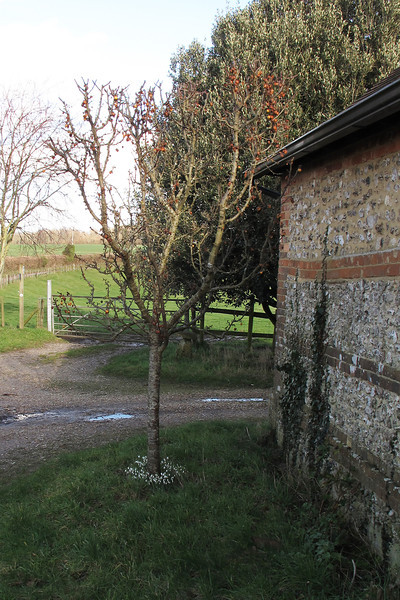 Someone has planted some pretty Snowdrops round the base of this tree outside Folly Barn.