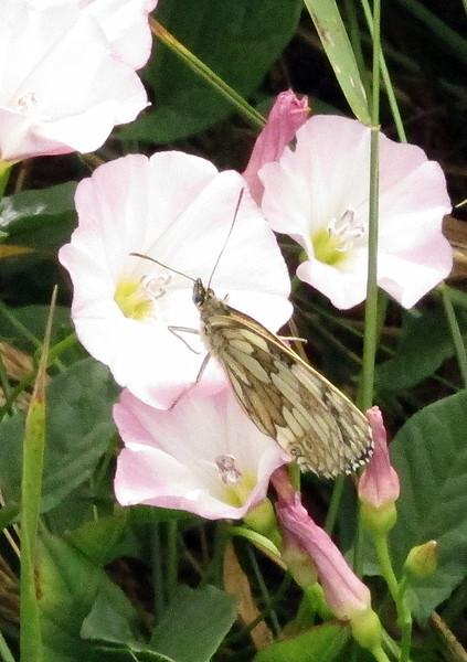 A Marbled White butterfly on some bindweed.