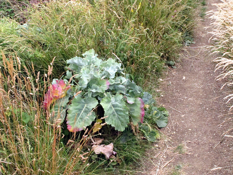 Sea kale is found widely in this area, Purbeck sea cliffs being famous as one of the places where it is so common.