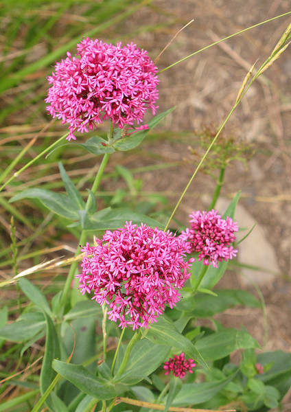 At Winspit some Valerian grows next to the path.